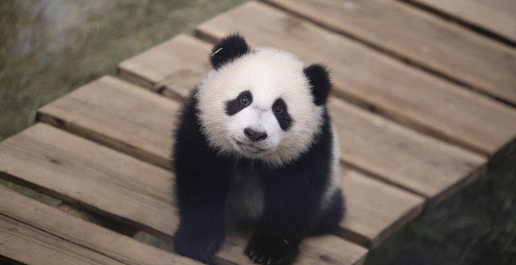 Reuzenpandajong Fan Xing in zijn binnen verblijf in Ouwehands Dierenpark. Foto: Ouwehands Dierenpark Rhenen