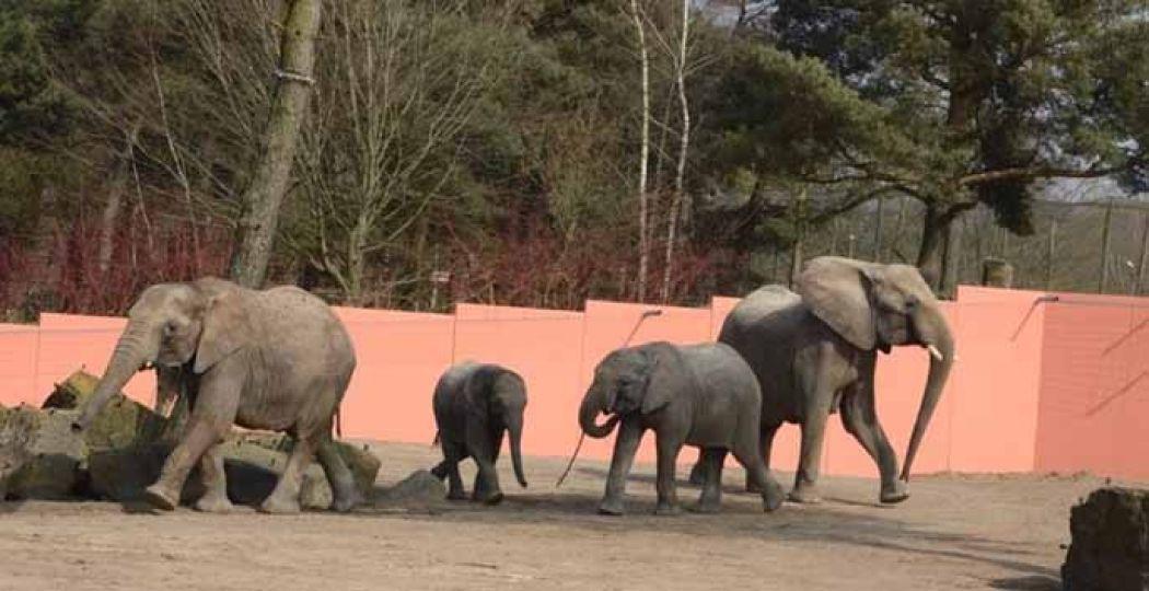 De familie is elke dag even in het buitenverblijf te zien. Foto: Safaripark Beekse Bergen