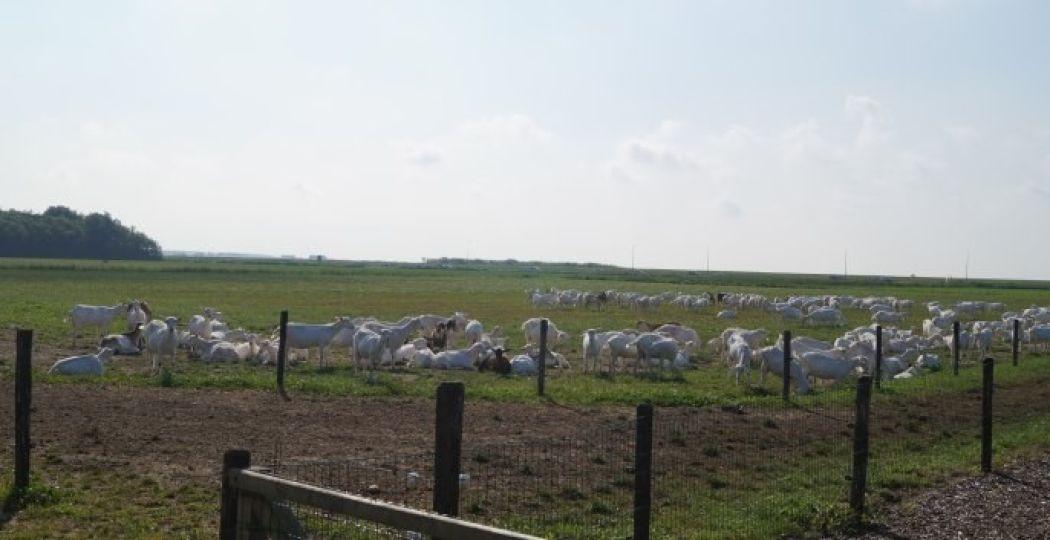 Daar zijn de witte geiten! Foto: Grytsje Anna Pietersma