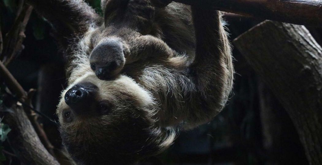 Een bijzondere ontmoeting in DierenPark Amersfoort: moeder luiaard met haar jong. Foto: DierenPark Amersfoort