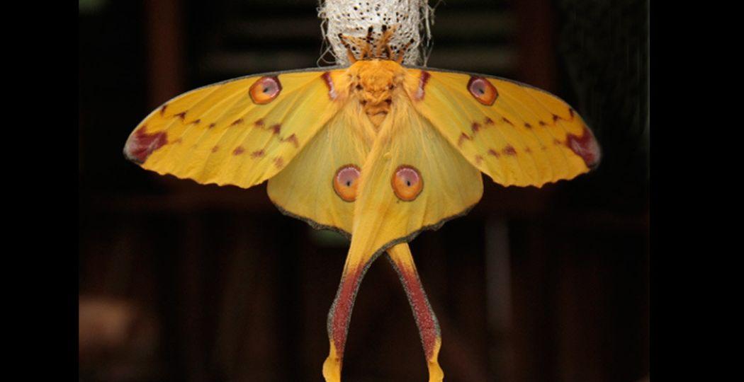 Bijzonder: de komeetstaartvlinder leeft maar een paar dagen. Foto: Orchideeën Hoeve