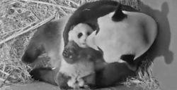Naam babypanda bekend