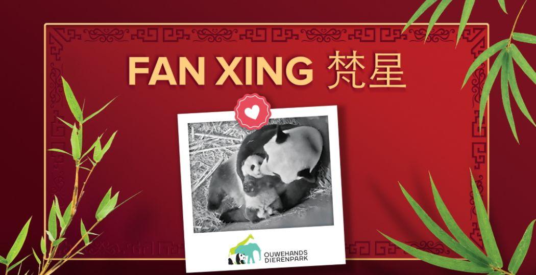 Het pandajong heet Fan Xing. Foto: Ouwehands Dierenpark Rhenen.