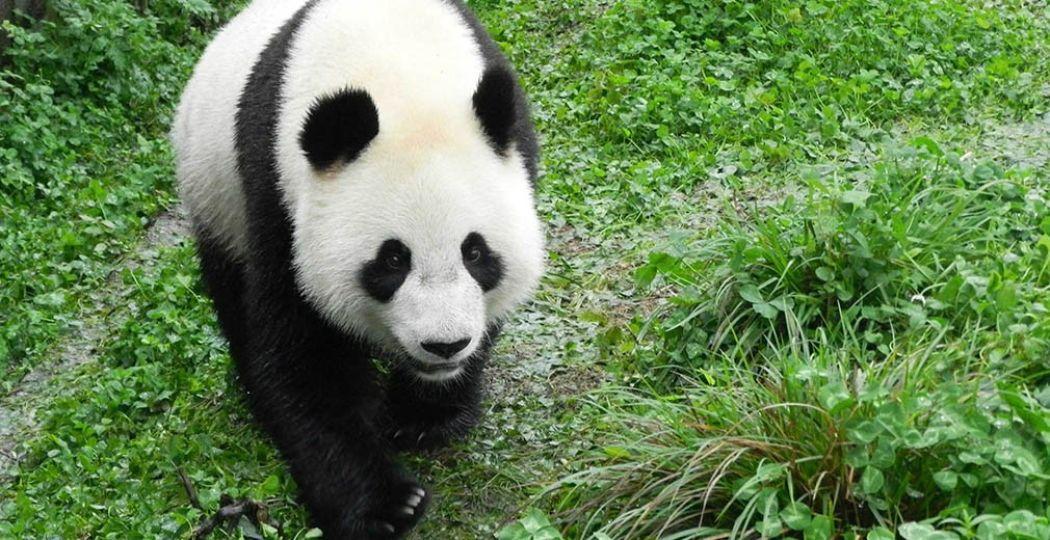 Reuzenpanda Wu Wen (het mannetje). Foto: © Ouwehands Dierenpark Rhenen.