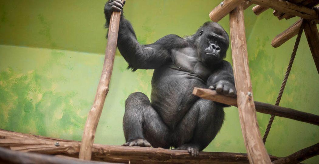 Gorilla Matadi zal blij zijn met de Mensapenvallei. Foto: © ZOO Antwerpen / Jonas Verhulst
