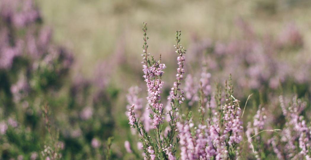 Elk jaar wordt in de laatste week van augustus, wanneer de heide bloeit, de Edese Heideweek georganiseerd. Foto: DagjeWeg.NL.