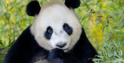 Wu Wen tedere pandamoeder