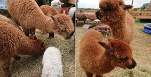 Alpaca Tea Time