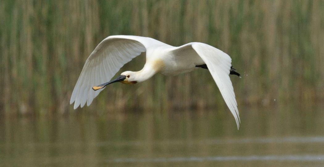 Gaat de lepelaar broeden voor de camera? Foto: Jelle de Jong / Vogelbescherming Nederland.