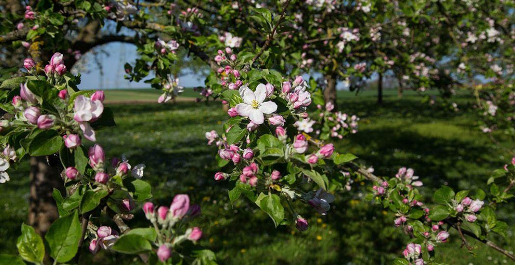 De takken van een bloeiende appelboom. De appelboom bloeit vooral in mei, als laatste van de fruitbomen. Foto: Franz Peischl via  Pixabay