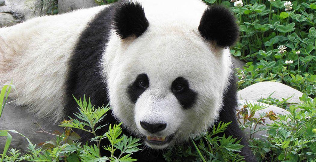 Reuzenpanda Xing Ya is binnenkort in haar verblijf Pandasia te zien, samen met Wu Wen. Foto: © Ouwehands Dierenpark Rhenen.