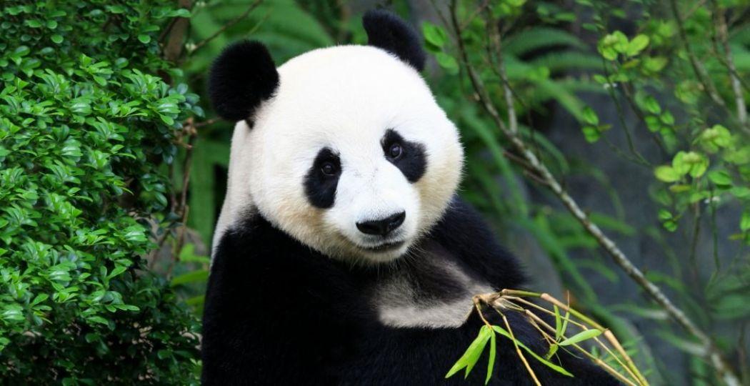 De reuzenpanda's Wu Wen en Xi Yan komen dit voorjaar. Bron: © Ouwehands Dierenpark Rhenen