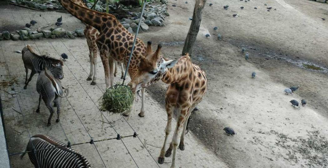 Het voer voor de giraffen hangt natuurlijk hoog in de lucht. Foto: DagjeWeg.NL.