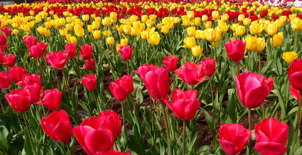 Bewonder de tulpenpracht. Foto:  Pexels.com