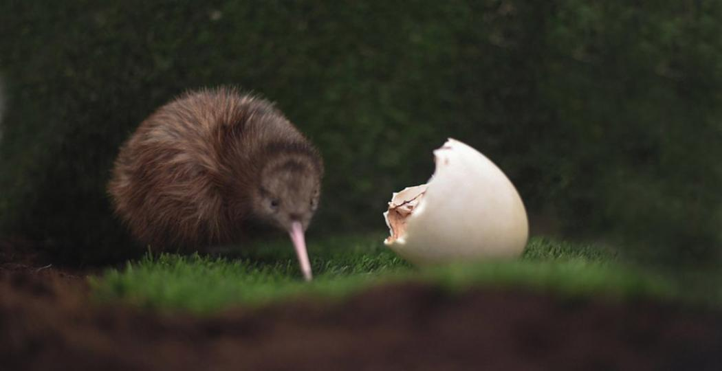 Is het geen schatje? Dit is de eerste kiwi ooit die in Nederland uit het ei is gekropen. Foto: Avifauna