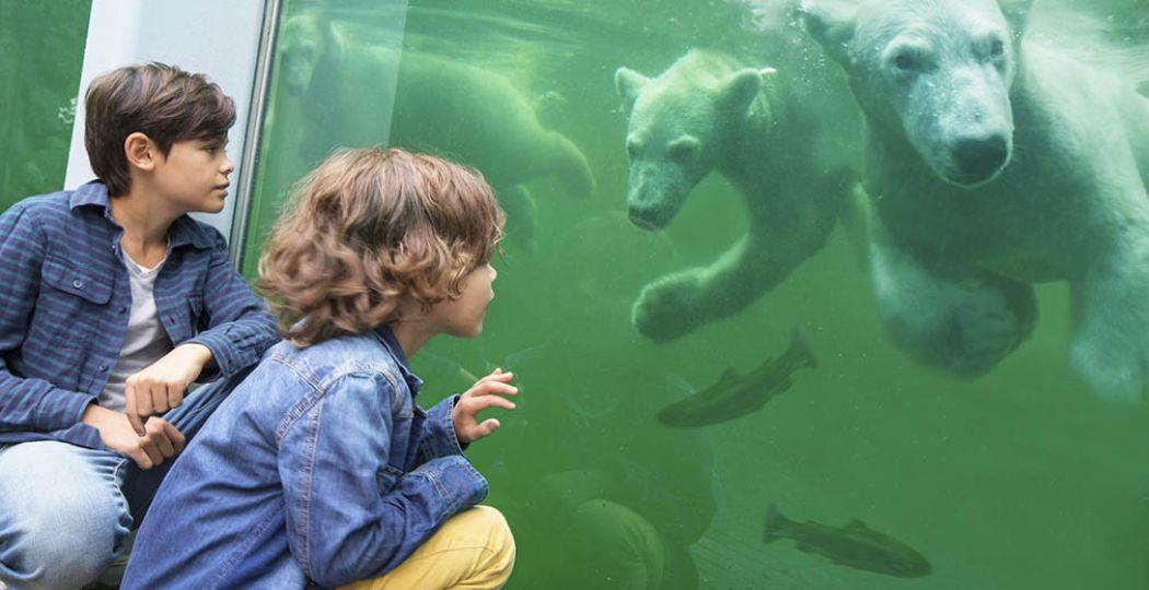 IJsberen kijken in Ouwehands Dierenpark. Foto: Ouwehands Dierenpark.