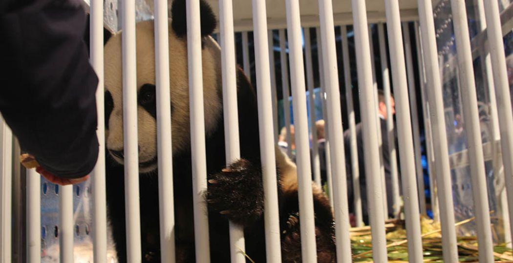 De panda's zijn veilig aangekomen op Schiphol. Foto: Redactie DagjeWeg.NL.