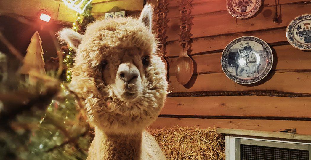Thee drinken in een knusse stal vol schattige alpaca's; het kan bij Alpaca Tea Time in Lemelerveld, het populairste uitstapje van 2020 in Overijssel. Ook nu gewoon te bezoeken. Foto: Alpaca Tea Time