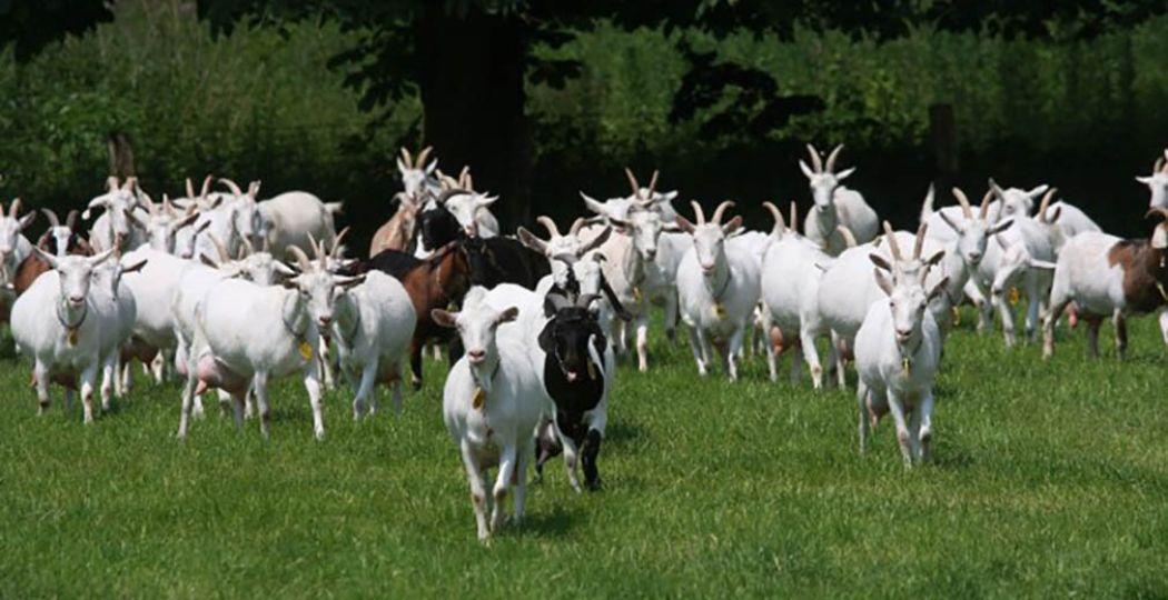 Tientallen geiten staan te trappelen om geaaid te worden. Foto: Geitenboerderij Ridammerhoeve.