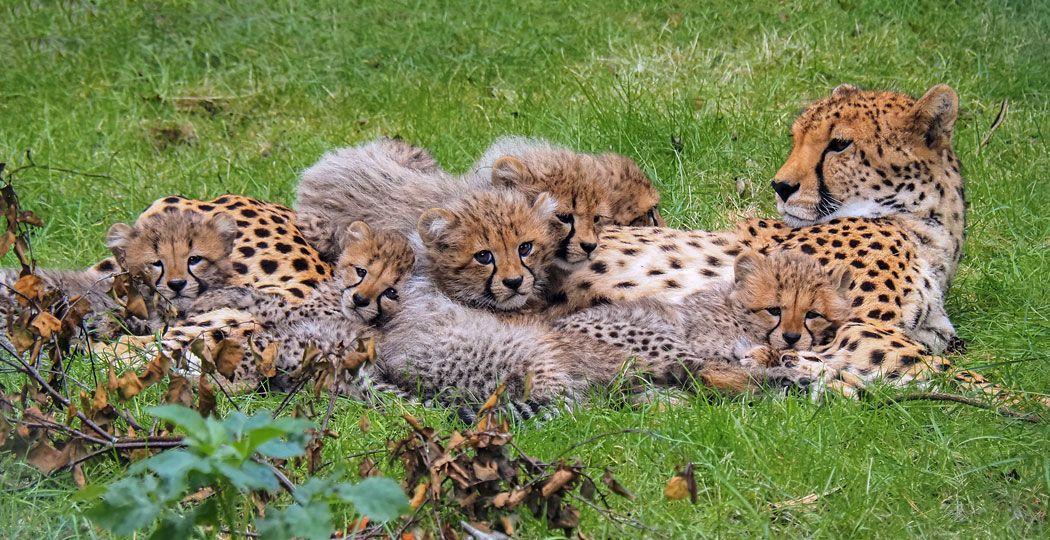 De zes cheetawelpjes van Safaripark Beekse Bergen zijn nu te bewonderen voor alle bezoekers. Foto: Beekse Bergen / Mariska Vermij - van Dijk