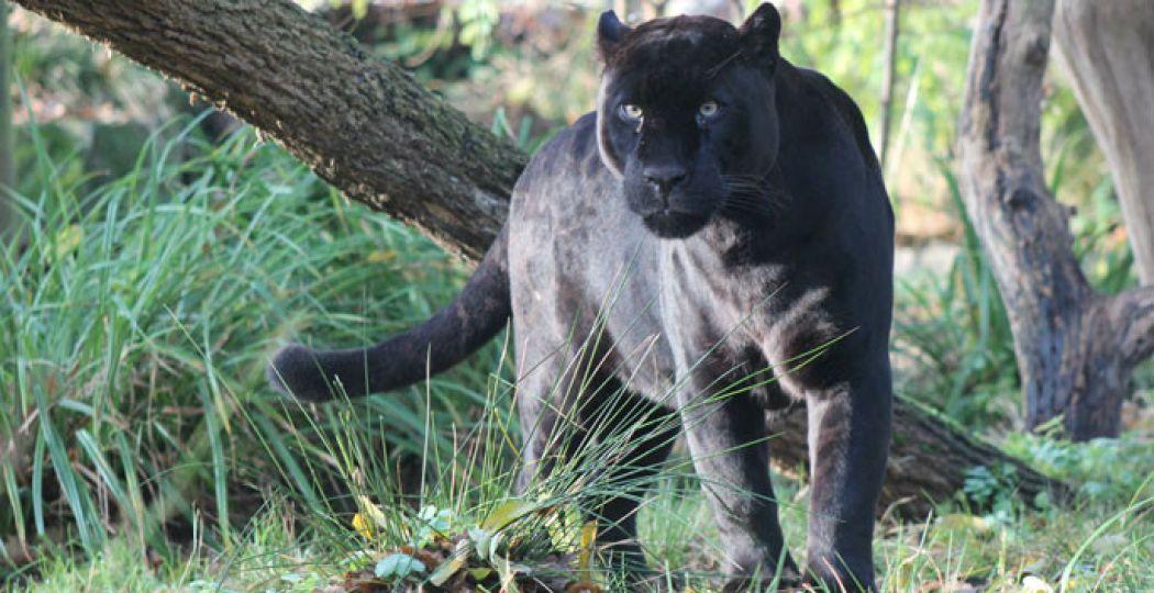 Durf jij die stoere jaguar in zijn ogen te kijken? Foto: Dierenpark Emmen