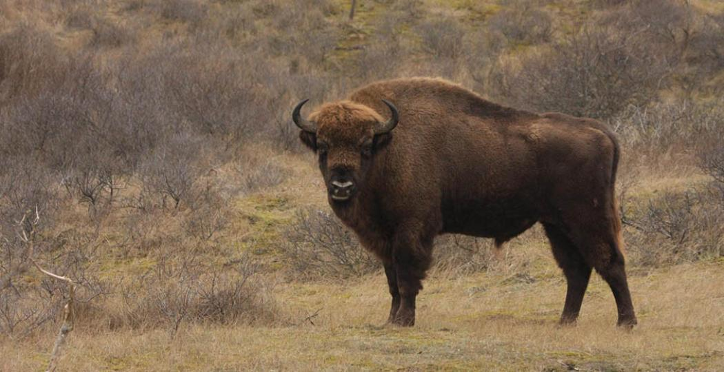 De wisent is het grootste dier in de Nederlandse wildernis. Foto © Leo Linnartz.