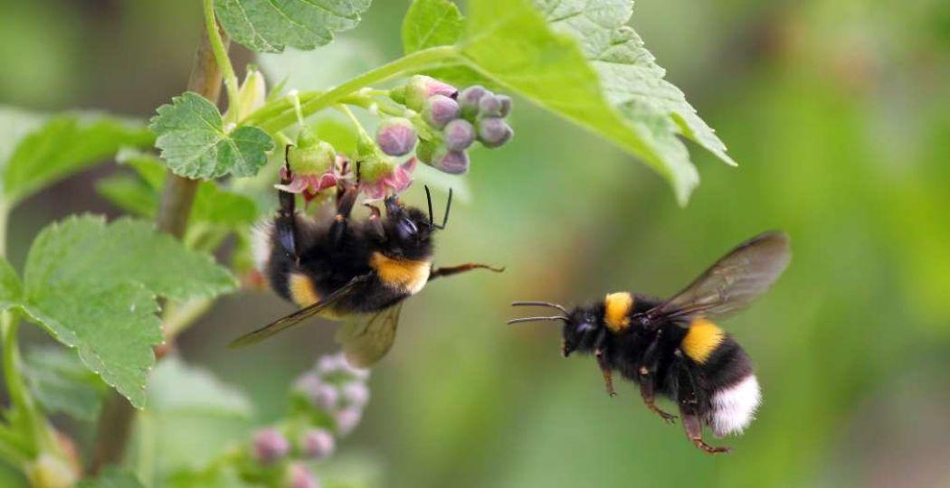 Wilde bijen zijn dol op bloemen. Foto: Naturalis