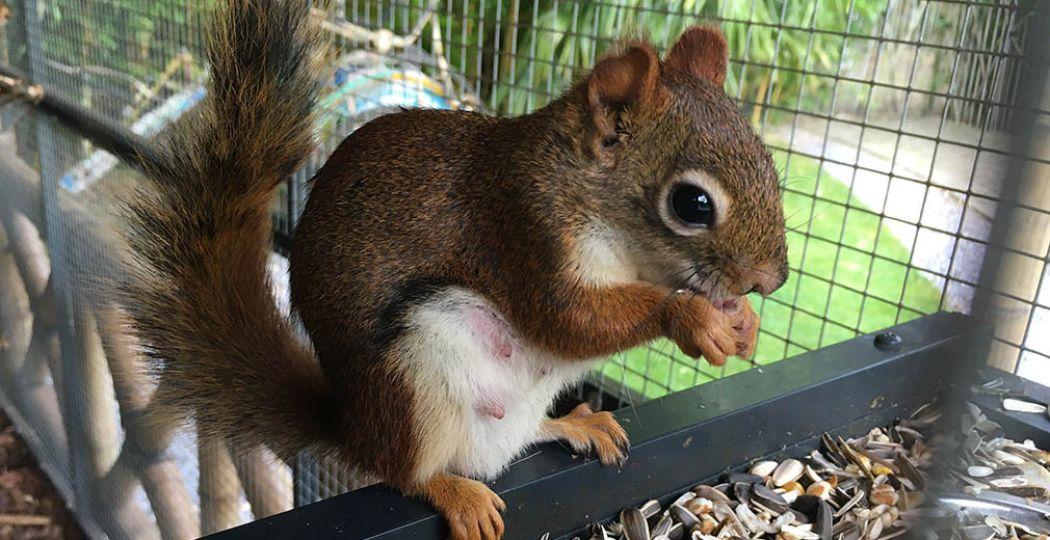 Bewonder meer dan tien soorten eekhoorns en trakteer ze op lekkere nootjes bij de Eekhoorn Experience. Foto: Exotisch tuincentrum De Evenaar / Eekhoorn Experience.