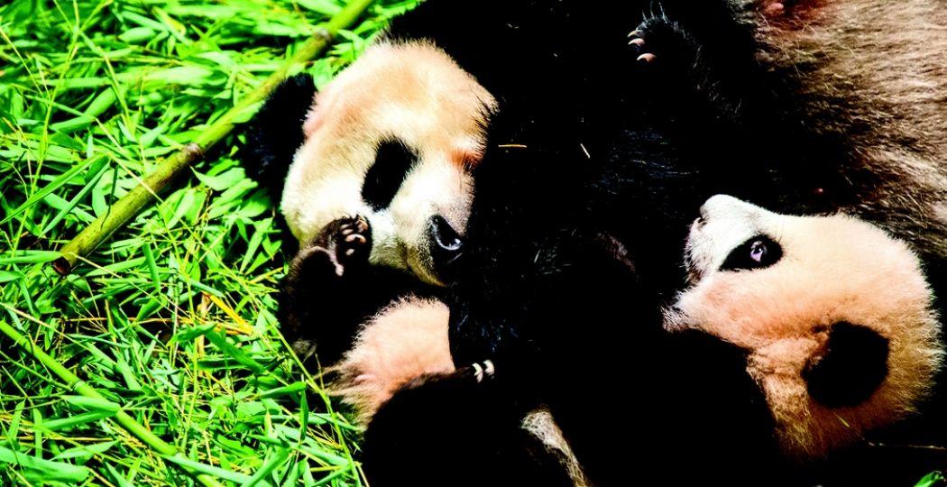 Reuzenpanda Wu Wen en haar jong Fan Xing. Foto: Ouwehands Dierenpark Rhenen