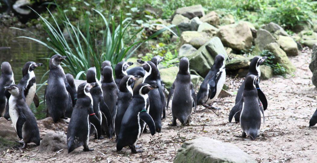 Nieuwsgierige pinguïns in AquaZoo Leeuwarden. Foto: DagjeWeg.NL.