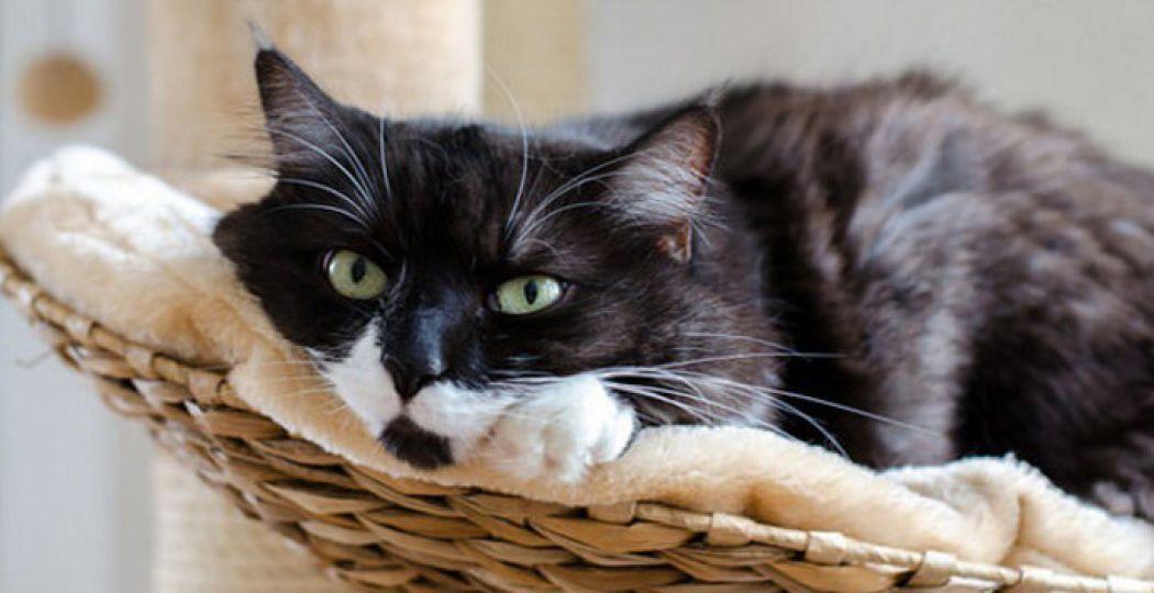 Mejuffrouw Poes Moolenaar is een diva en woont bij oprichtster Hielkje. Foto: Kattencafé Op z'n Kop.