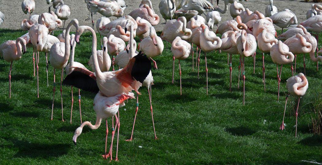 De flamingo's in Diergaarde Blijdorp hebben het gezellig in hun nieuwe diervriendelijke verblijf. Foto: Diergaarde Blijdorp