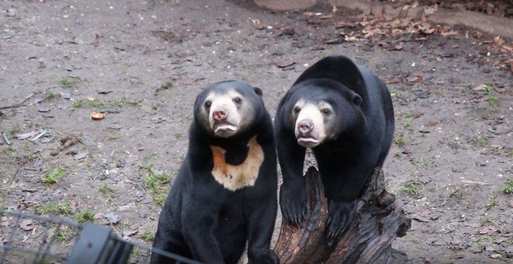 De Maleise Beren kijken nieuwsgierig naar een voorbijganger. Foto: DagjeWeg.NL