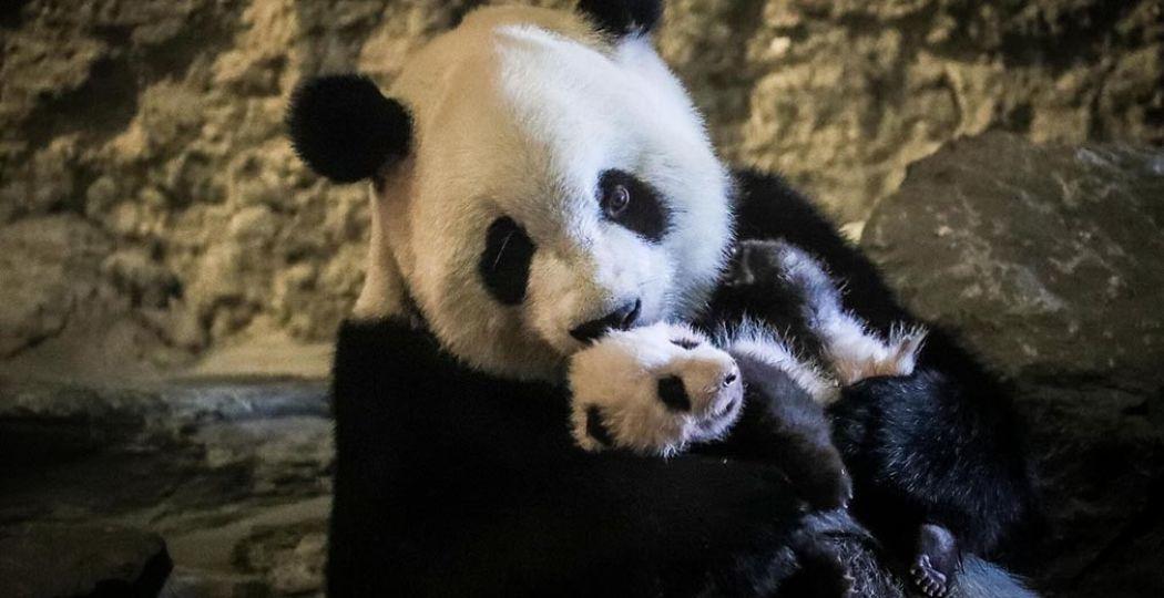 Pandamoeder Hao Hao knuffelt met babypanda Tian Bao in België. Foto: Pairi Daiza, © Benoit Bouchez.