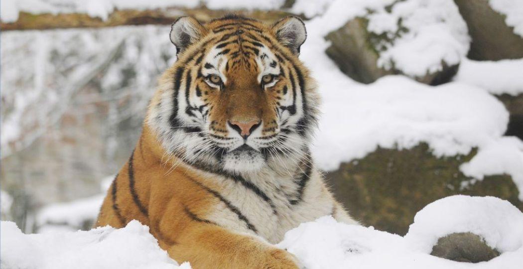 De Siberische tijger in de sneeuw bij Ouwehands Winterland. Foto: Ouwehands Dierenpark