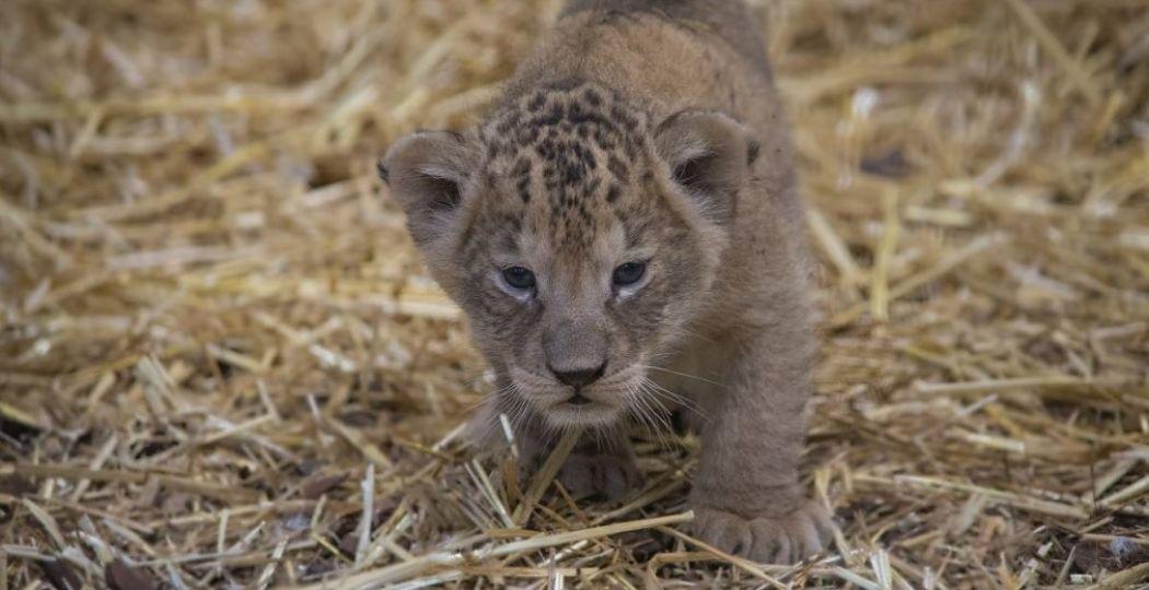 In januari kwamen er twee leeuwenwelpjes ter wereld in WILDLANDS. Ze heten Zuna en Kimani. Foto: WILDLANDS