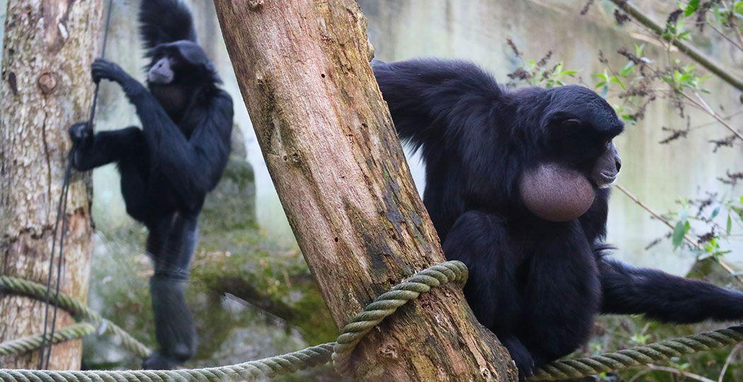 De siamangs Jackyll en Titus draaien hier nog wat om elkaar heen, maar het gezang verraadt dat het dikke mik is tussen de twee. Foto: DierenPark Amersfoort
