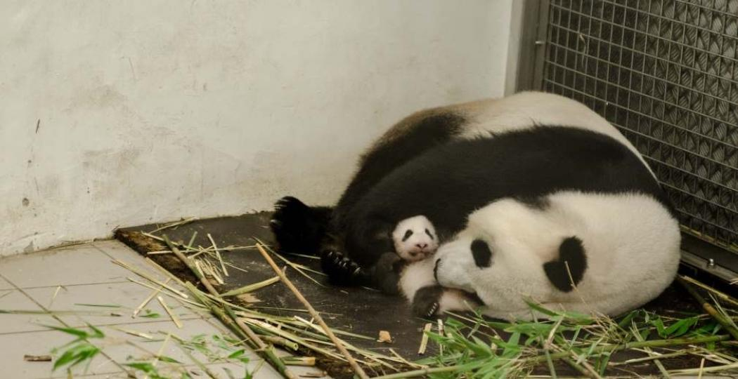 De kleine babyreuzenpanda is nu in het echt te bewonderen! Foto: Pairi Daiza/Benoit Bouchez