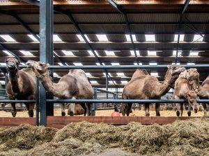 Wie durft er op een kameel te zitten? Foto: Kamelenmelkerij Smits.