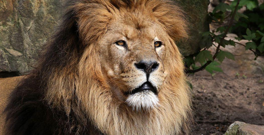 Iconische leeuw overleden in ARTIS. Caesar was deel van de geschiedenis van ARTIS en erg geliefd bij bezoekers. Foto: ARTIS © Ronald van Weeren.