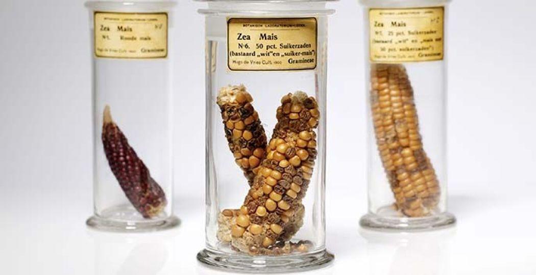 Maiskolven gekweekt door plantkundige Hugo de Vries om de wetten van Mendel over erfelijkheid te illustreren, 1900. (Museum Boerhaave, V10381, V10380, V10382). Foto: Marieke de Lorijn