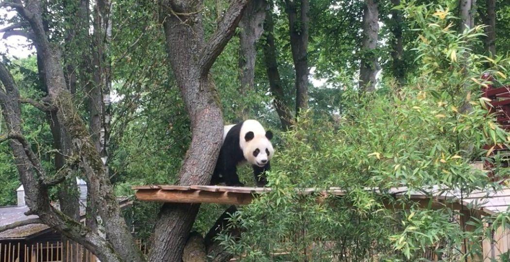 Reuzenpanda Wu Wen schuwt de camera's niet. Foto: Redactie DagjeWeg.NL