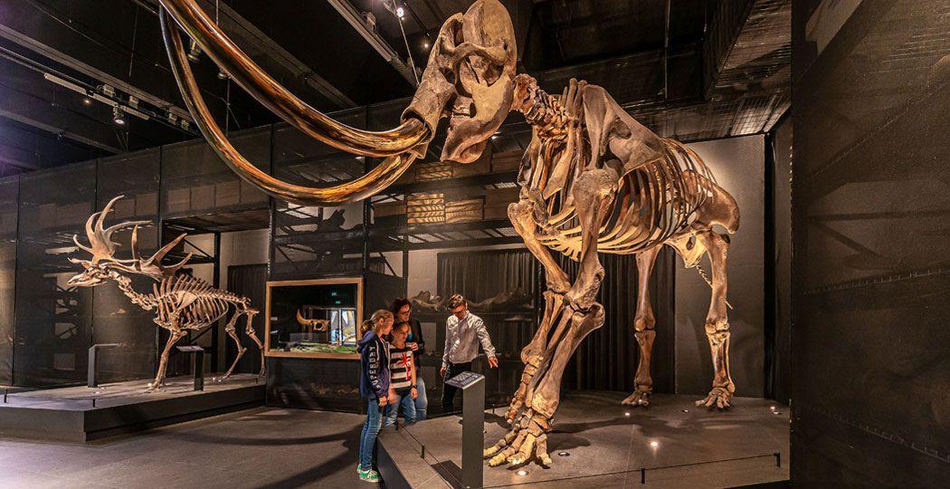 Naturalis is uitgeroepen tot Europees Museum van het Jaar 2021. Bekijk onder andere deze reusachtige mammoet uit de IJstijd. Foto: Naturalis © Koen Mol