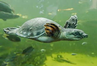 Bijzonder: de Pig Nosed Turtle! Foto: Klein Costa Rica.