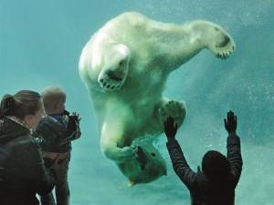 Bewonder de ijsberen en de ijsbeertweeling! Foto: Diergaarde Blijdorp © Rob Doolaard.