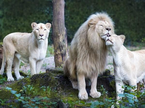 Bekijk de indrukwekkende leeuwen.