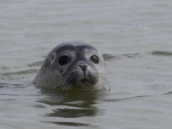Spot zeehonden in Zeeland. Foto: ScheldeSafari.