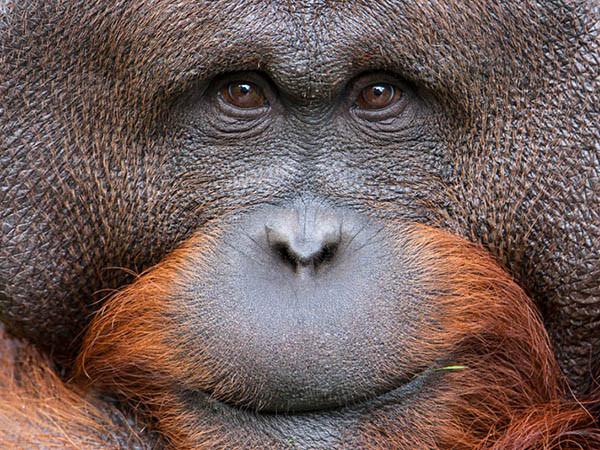 Een orang-oetan. Foto: Apenheul.