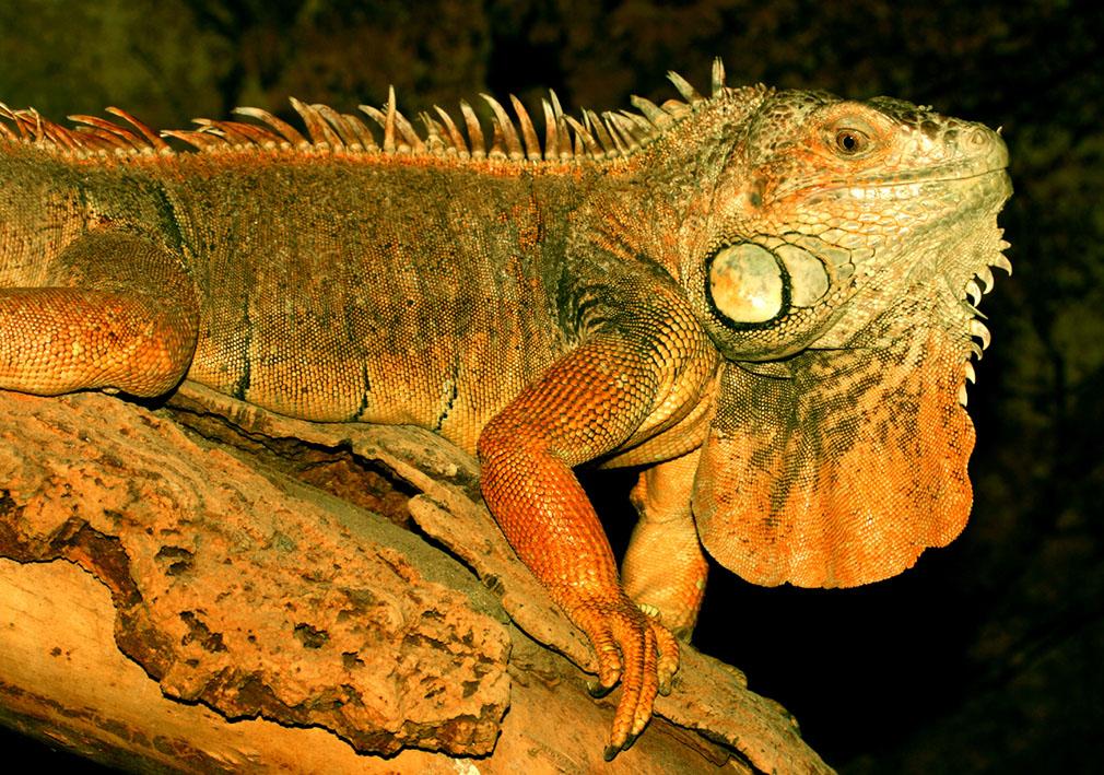 Beoordeel en win 2 vrijkaartjes voor Reptielen Zoo Iguana
