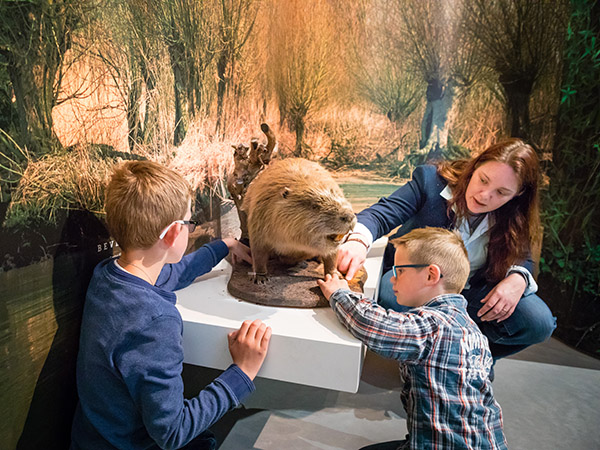 Zo groot is een bever. Foto: Archief Biesbosch MuseumEiland